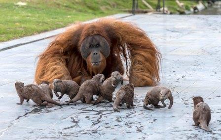 Orangotangos fazem amizade com lontras