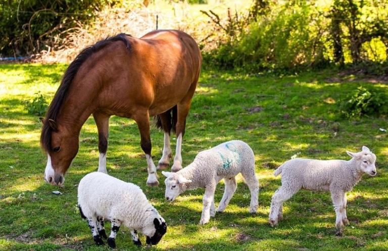 Pônei adota cordeiros órfãos e os amamenta com seu leite
