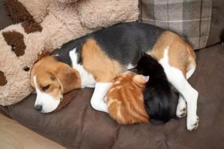 Cadela adota filhotes de gato e produz leite para amamentá-los