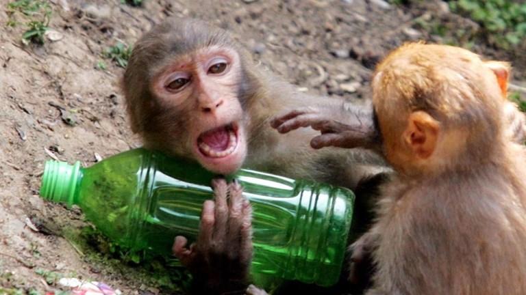 Macaco bêbado surta, fere 250 pessoas e mata um na Índia