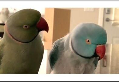 Papagaios conversam e trocam beijos em vídeo fofo